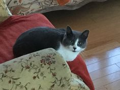 #Montreal ♥ Happy to announce adoption of sweet MISHOUI ~ What a handsome blue and white boy <3 If you would like to adopt a rescue cat or kitten please email  montrealcause4paws@gmail.com + www.facebook.com/cause4paws