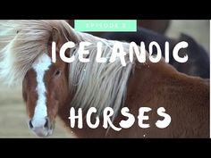 Icelandic Horse: Everything You Need to Know - YouTube