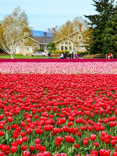 Skagit Valley Tulip Festival, Washington State USA April 450 acres of tulips. Beautiful World, Beautiful Gardens, Beautiful Places, Tulip Festival Washington, Champs, Virtual Flowers, Evergreen State, Tulip Fields, Flower Farm