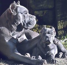 Cane Corso … More is part of Cane corso puppies - Cão Cane Corso, Chien Cane Corso, Cane Corso Puppies, Blue Cane Corso, Cane Corso Italian Mastiff, Cane Corso Mastiff, Mastiff Breeds, Mastiff Dogs, Beautiful Dogs