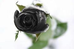 Single black picture free rose UPDATED: 35