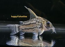 Learn about the most popular species of small Corydoras species. We carry beautiful cory catfish species. Check our stock and save on direct shipping to your home. The armored catfish are peaceful and fantastic aquarium tank mates for a community tank. Freshwater Aquarium, Aquarium Fish, Cory Catfish, Cichlids, Tropical Fish, Betta, Fresh Water, Fat, Free Shipping