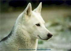 Kim - Isabella White Siberian Husky - Colors of the Siberian Husky
