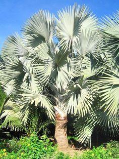 Muda De Palmeira Bismarckia Nobilis - R$ 270,00 no MercadoLivre
