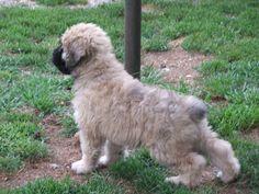 Bouvier Des Flanders dog photo | Mohr Bouvier des Flandres - Karl and Linda Mohr, Fogelsville (Lehigh ...