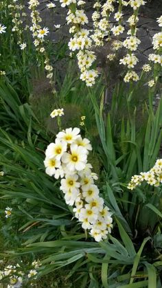 Sysirinchium striatum AKA Satin Flower