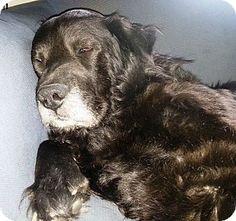 Transfer, PA - Labrador Retriever/Chow Chow Mix. Meet Elijah, a dog for adoption. http://www.adoptapet.com/pet/10822190-transfer-pennsylvania-labrador-retriever-mix
