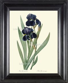 BOTANICAL PRINT Redoute Flower 8x10 Botanical Art Print 161 Beautiful Blue Iris Plant Antique Writing Nature to Frame Interior Design