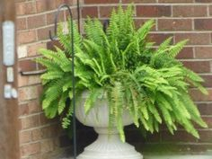 Boston fern is a lush, old-fashioned plant valued for its lacy, bright green foliage. When grown indoors, this easy-care plant provides an air of elegance and style. But can your grow Boston fern outdoors? Read here to find out. Container Flowers, Container Plants, Container Gardening, Indoor Gardening, Gardening Tips, Vegetable Gardening, Succulent Containers, Kitchen Gardening, Flower Gardening