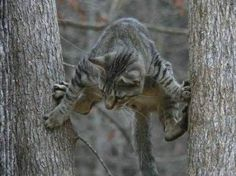 I don't know that you'd call this STUCK in a tree - but it sure doesn't look good !
