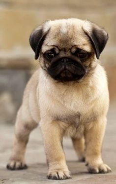 Cute Pug Puppy I don't care if people don't like this kind of dog but I absolutely love them! I want one so bad! Cute Pug Puppies, Rottweiler Puppies, Cute Dogs, Dogs And Puppies, Bulldog Puppies, Doggies, Pug Love, I Love Dogs, Pug Kawaii