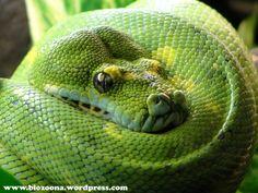 Reptiles   Posted on 15/01/2010 by Hexo. green tree python ( Morelia virdis )