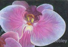 Original Orchid art colored pencil floral drawing by robinzebley