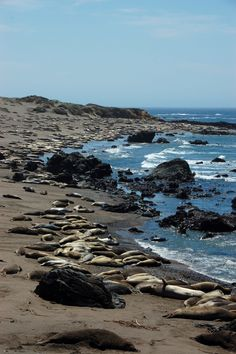 Irene Lui @Ireney128     · Details  Seals bask in the sun and rest on the sand on the California coast. #Frifotos twitpic.com/8i49p4