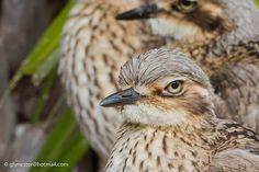 Bush Stone-curlews closeup