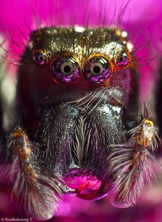 Look deep into my eyes! This stunning up close and personal shot of a jumping spider is almost mesmerizing! (photo: Namo Gallery)