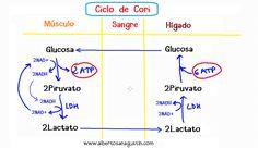 Ciclo de Cori paso a paso (vídeo) | Dr. Alberto Sanagustín