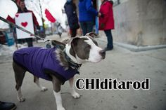 Two Pitties in the City: Things to do in Chicago with Dogs: Watching CHIditarod