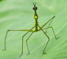 O Livro da Natureza: Insetos Phasmotedea -Bicho Pau
