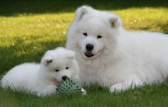 """Samoyed is one of 14 purest dog breeds in the world, known as """"Smiley Dog"""". Find samoyed information, temperament and more including picture. Baby Puppies, Baby Dogs, Cute Puppies, Dogs And Puppies, Doggies, Fluffy Dog Breeds, Big Fluffy Dogs, Funny Animals, Cute Animals"""