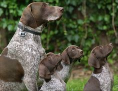 Begging For Affection  .. Here we are!  We are the GSP family you ordered!