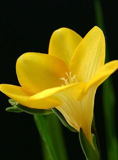 Nature's colors are healing - yellow freesia http://balancedwomensblog.com