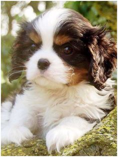 Sweet Black Tri Cavalier puppy by consuelo King Charles Puppy, Cavalier King Charles Dog, King Charles Spaniel, Kittens And Puppies, Cute Puppies, Cute Dogs, Beautiful Dogs, Animals Beautiful, Baby Animals