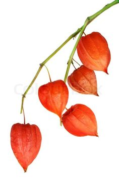 Red inflorescences of Physalis Alkekengi (Chinese Lantern). Botanical Illustration, Botanical Prints, Watercolor Illustration, Fall Flowers, Orange Flowers, Watercolor Flowers, Watercolor Art, Chinese Lanterns Plant, Egg Carton Crafts