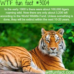 The declining population of Tigers -  WTF fun facts