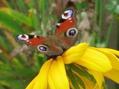 Kuvia neljästä vuodenajasta Butterflies, Insects, Flowers, Animals, Animales, Animaux, Butterfly, Animal, Animais