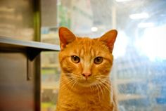 CHESTER is an adoptable Domestic Short Hair Cat in Hiram, GA. Chester is a 2 year old Red Tabby Shorthair male cat who needs a loving home. He is very friendly towards everyone and gets along with oth...