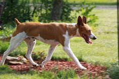 Rat Terrier - Seegmiller's Casharoni