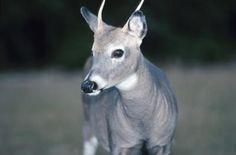 Garden Deer Repellant= South American marigold Tagetes minuta