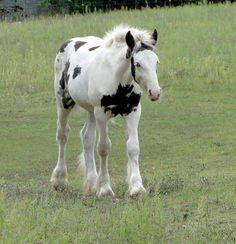 Awww! So pretty! || black gypsy vanner foal