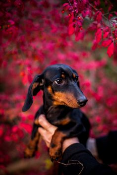 Dachshunds- One day I will have a weiner doggy & I shall name it Oscar & I will sing the Bologna song to him. lol