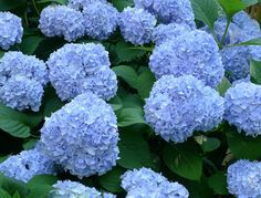 hydrangea macrophylla - Small additions of ammonium sulfate produce a pleasing blue....