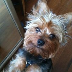 Hank the Yorkshire Terrier on Puppystream.me