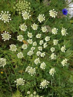 Amazing Ammi, or Queen Anne's Lace