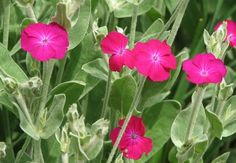 Rose campion or Campion (Lychnis coronaria) is an excellent border plant for its beautiful silvery leaves that make a nice background for prominent scarlet or magenta flowers that appear in summer. Native to temperate regions of Asia and Europe, Campion grows in a well-drained soil under sunny exposure and moderate watering.