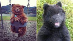 Ecomundo: Fotos de perros que parecen ositos de peluche