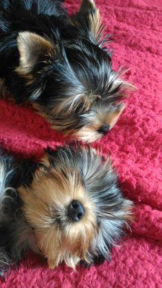 Sleepy Yorkie pups