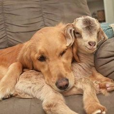 Loryn takes in every baby animal her parents rescue and adopts them as her own.#goldenretriever #interspeciesfriendship #babygoat(: @life_of_girlfriends)