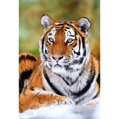 Siberian Tiger - Another regal species facing extinction from poaching. I need to get these colors for some tiger inspired eye makeup! Animals Of The World, Animals And Pets, Cute Animals, Beautiful Cats, Animals Beautiful, Panthera Tigris Altaica, Tiger Poster, Save The Tiger, Siberian Tiger