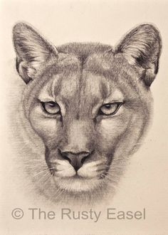 Items similar to Cougar Art Print - 5 x 7 art print, Drawing art print, Pencil drawing art print, Pencil Art print, Animal drawing print. Cat drawing print on Etsy - Graphite drawing of a cougar. Ref photo courtesy of Jenny Dalleywater – PMP - Pencil Drawings Of Animals, Animal Sketches, Art Sketches, Realistic Drawings Of Animals, Drawing Animals, Graphite Drawings, Cool Drawings, Lion Sketch, Cat Art Print