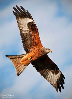 Red Kite (Milvus milvus) of Britain. (Richard Gosney on Pretty Birds, Beautiful Birds, Eagle Pictures, Red Kite, British Wildlife, Bird Wings, Majestic Animals, All Nature, Birds Of Prey