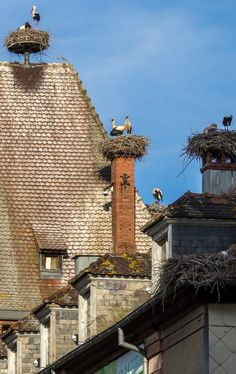 Storks, Munster, Alsace, France