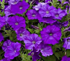 The purple blossoms of this small-flowered Petunia gently age to the color of stonewashed jeans, creating a two-tone pattern. Petunia Shock Wave® Denim is a compact and tightly branched, spreading variety that is the earliest to flower and blooms into fall. Tip: feed weekly to maximize the show. Petunia is among the most colorful and popular genera of annual plants for municipal bedding. There are forms of Petunia that retain the enthusiasm for flowering without the garish ...