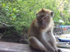 Loved this #macaque #monkey in #Langkawi #Malaysia #Asia #travel