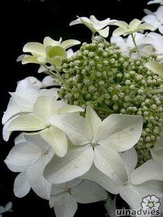 Hydrangea pan. 'Degudo' mooie herfst verkleuring Hydrangea Quercifolia, Scented Oils, Types Of Flowers, Trees And Shrubs, Hydrangeas, Peonies, Flower Arrangements, Beautiful Flowers, Bouquets