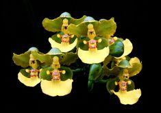 Orchid: Trichocentrum bicallosum....  I see little singing nuns.